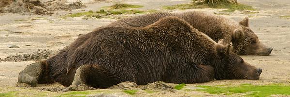 Sleeping Brown Bears