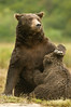 Brown Bear Nursing