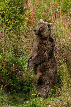 Brown Bear Standing