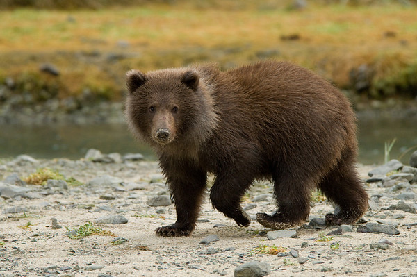 Little Brown Bear Cub