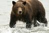 Brown Bear Fishing