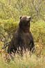 Brown Bear Boar