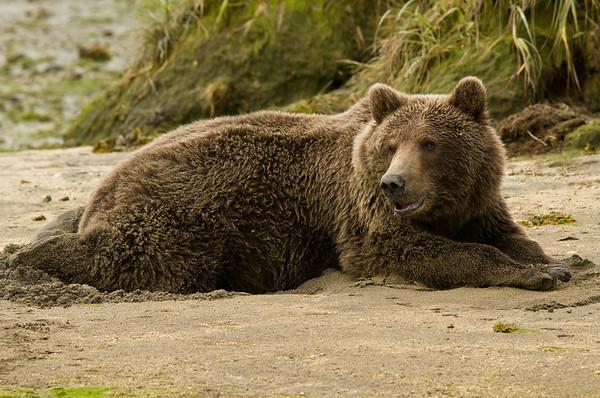 Chillin' Brown Bear