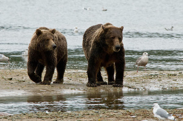 Brown Bears on Silver Salmon Run