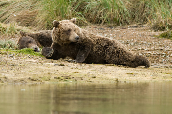 Sunbathing Brown Bear