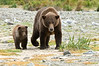 Brown Bear Sow & Cub