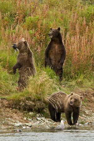 Brown Bear Family Portrait