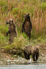 Brown Bear Family Portrait