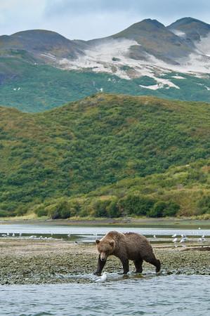 Brown Bear on Silver Salmon Run