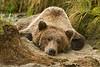 Brown Bear Napping