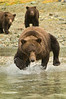 Brown Bear Fishing Lessons