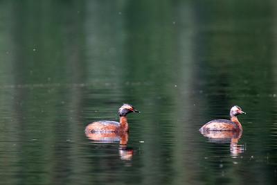 Summer time ducks #1, Brooks Range Mountains, Alaska