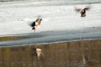 Ducks #1 - Brooks Range Mountains, Alaska