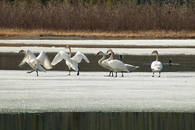 Swans #1 - Brooks Range Mountains, Alaska