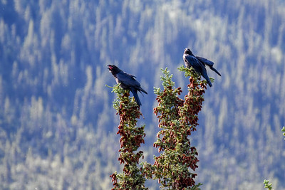 Ravens #1, Brooks Range Mountains, Alaska