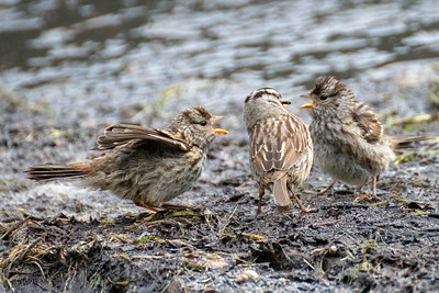 Young birds #1, Brooks Range Mountains, Alaska