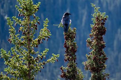 Ravens #5, Brooks Range Mountains, Alaska