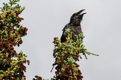 Ravens #4, Brooks Range Mountains, Alaska
