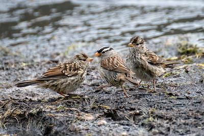 Young birds #2, Brooks Range Mountains, Alaska