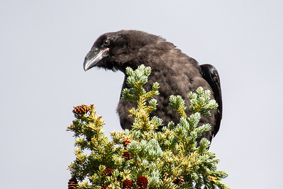 Ravens #6, Brooks Range Mountains, Alaska