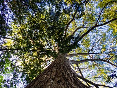 15. The Big Tree