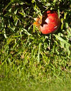 19. Pomegranate