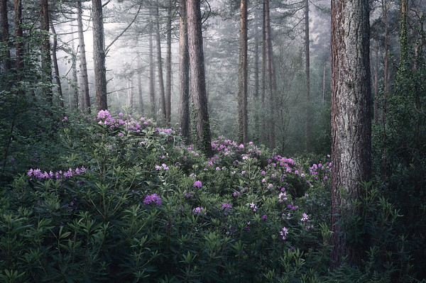Rhododendrons in the Mist