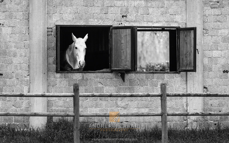 White horse at the window