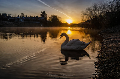 Swan Sunrise