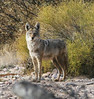 Coyote: Havasu National Wildlife Refuge, AZ