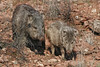 Javelina or Collared Peccary with young near Sedona, AZ (March, 2010)