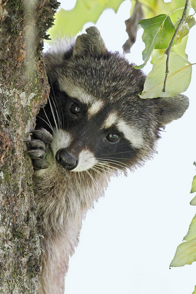 Raccoon:  Ridgefield NWR, WA  (June, 2010)