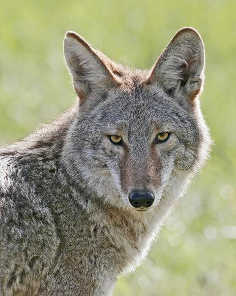Coyote: Ridgefield NWR, WA