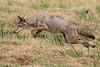 Coyote: Ridgefield NWR, WA (August, 2010)