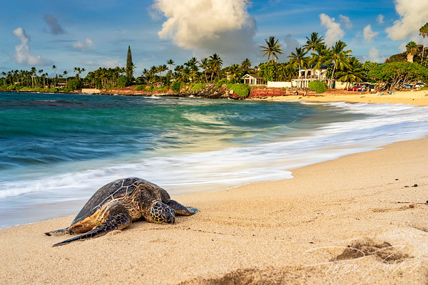 Honu By the Sea