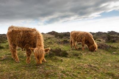 Highland Cattle feeding at Baslow Edge