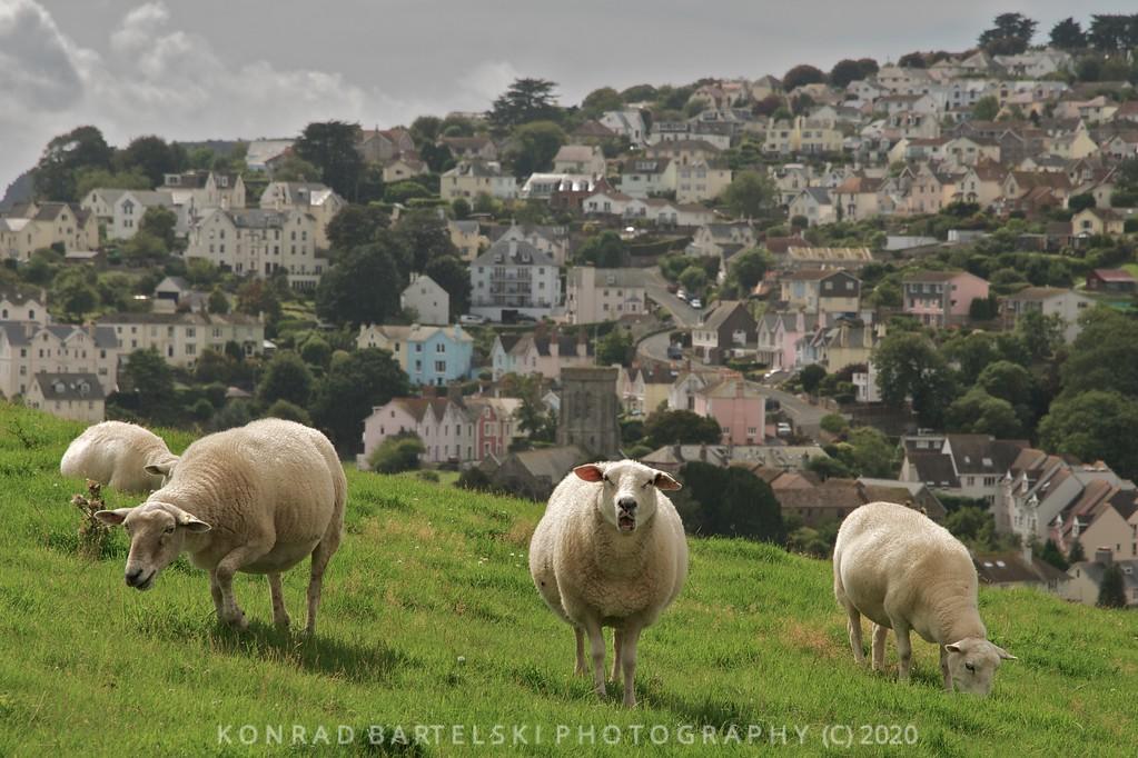 The Salcombe Sheep