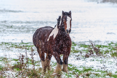 Brown Horse Galloping Through The Snow