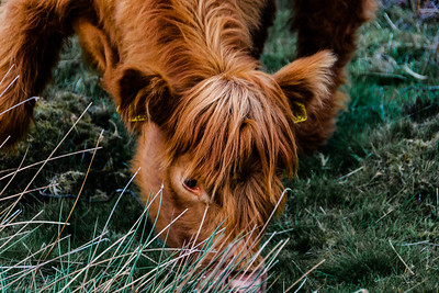 Highland cow eating close up