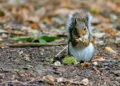Gray squirrel stood upright eating a nut