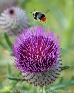 The Pollen
