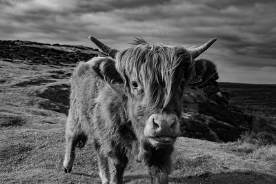 Saying hello to a Highland Cow at Baslow Edge Black and White