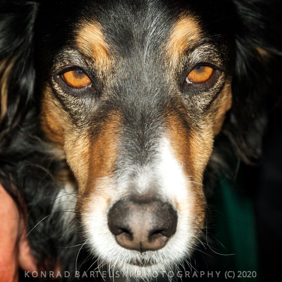 The Queyras Mountain Dog