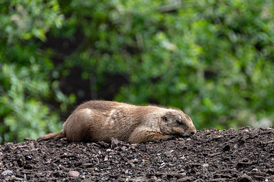 Sleeping Prairie Dog