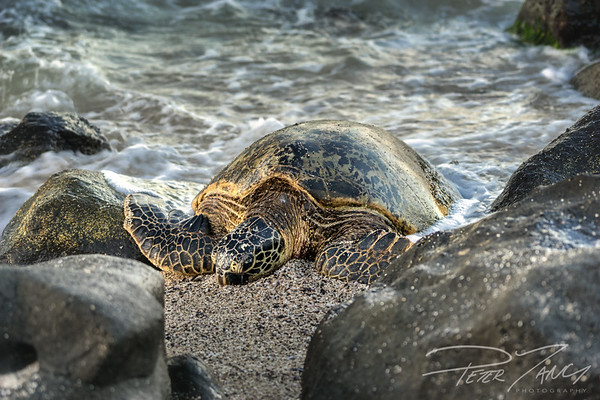 Honu Sandy Bed