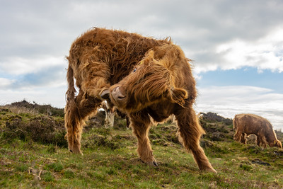 Highland cow having a scratch
