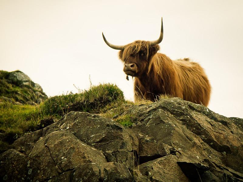 The Scottish Cow