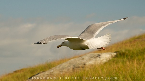 Seagull on Snowdon