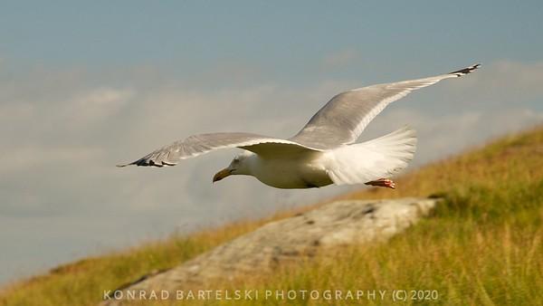 Seagull on Snowdon