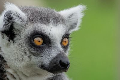 Lemur Orange Eyes